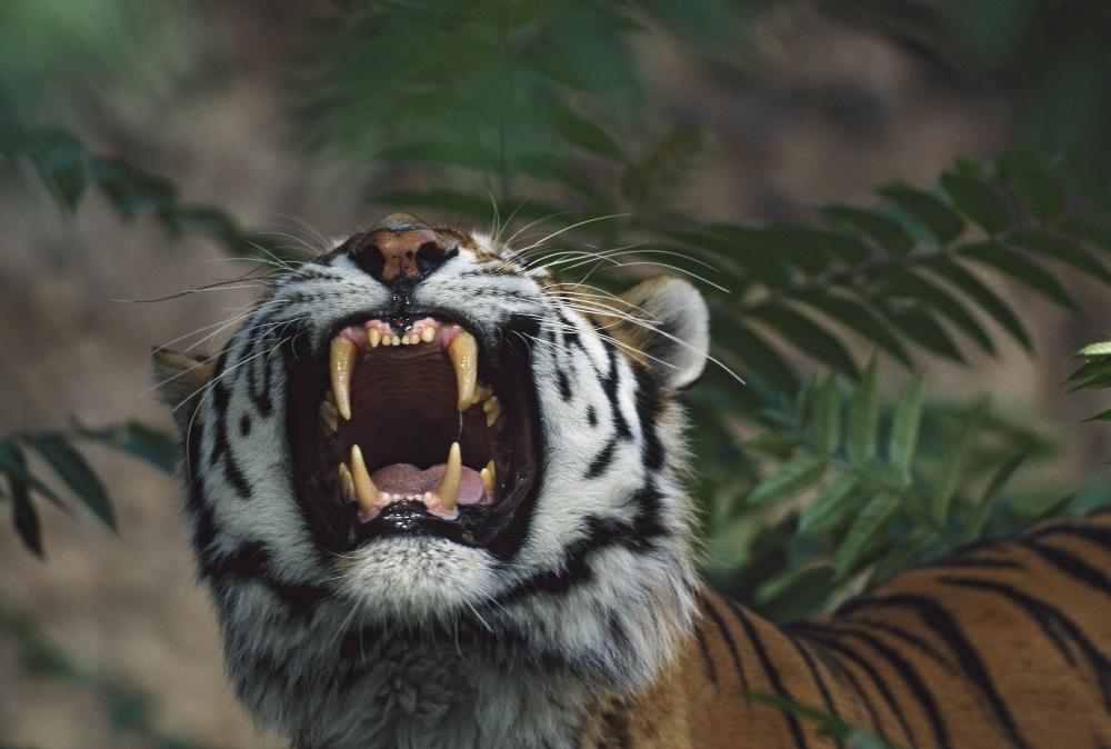 Siberian Tiger (Panthera Tigris) Bares Fangs Poster - Tanga