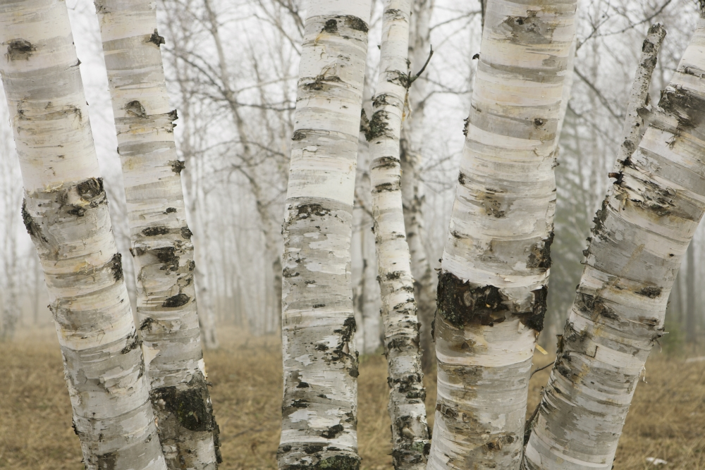 birch tree guys We start every project by providing a thorough consultation and following with a job that will insure that we will be the tree guy fostoria, birch run.