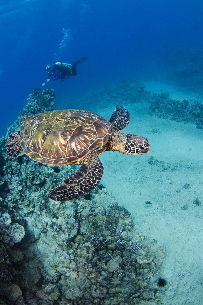an introduction to the green turtle species chelonia mydas A nesting female green sea turtle lays her eggs  conservation  chelonia mydas introduction green sea   .
