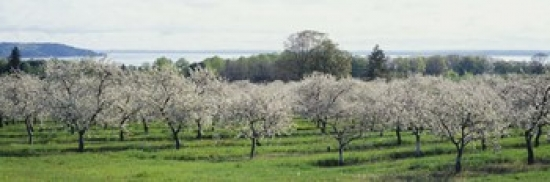 Panoramic Images Cherry trees in an orchard, Mission Peninsula, Traverse City, Michigan, USA Poster Print by Panoramic Images (27 x 9) at Sears.com