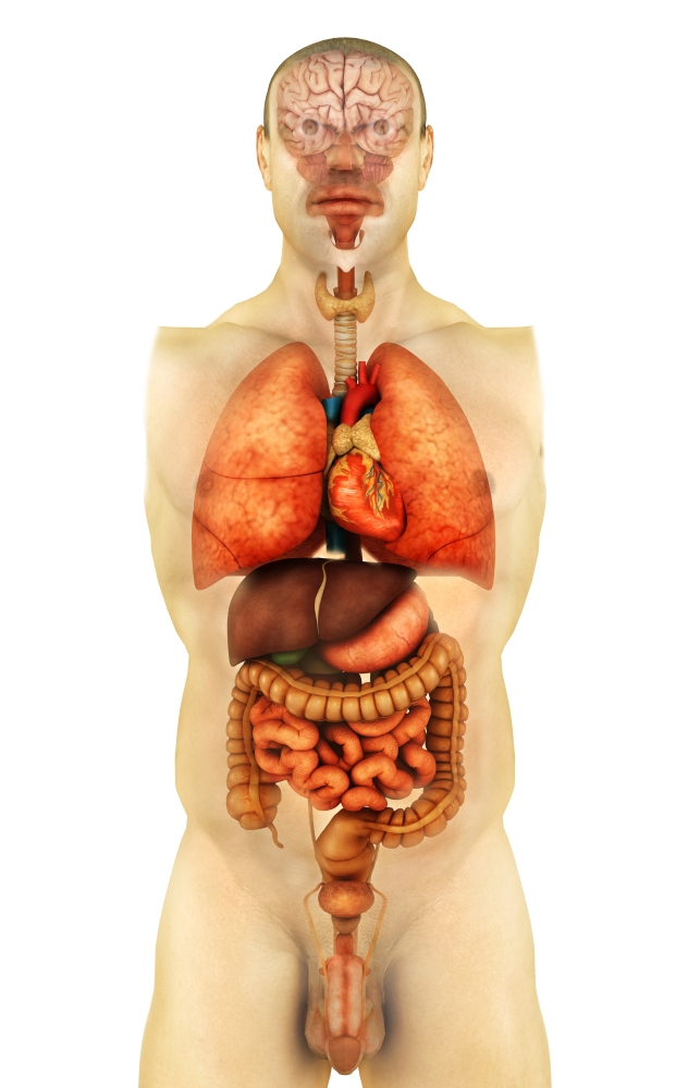 Whole human body anatomy